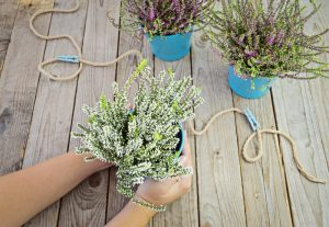 22676950-female-hands-holding-a-pot-of-flowering-heather